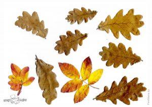 Осенние листья дуба